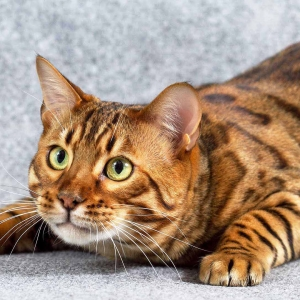 bengal-cat-wallpapers-12