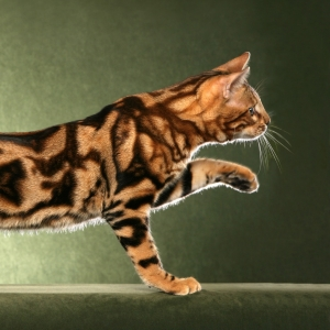 bengal-cat-wallpapers-14