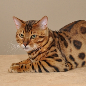 bengal-cat-wallpapers-15