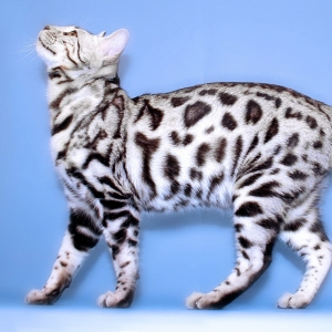 bengal-cat-wallpapers-16