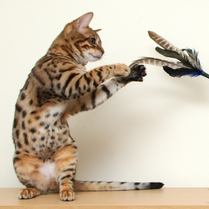 bengal-cat-wallpapers-17