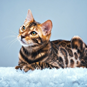 bengal-cat-wallpapers-18