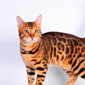 bengal-cat-wallpapers-19