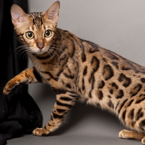 bengal-cat-wallpapers-20