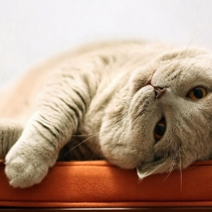 british-cat-wallpapers-03