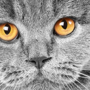 british-cat-wallpapers-05