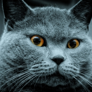 british-cat-wallpapers-06