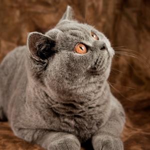 british-cat-wallpapers-10