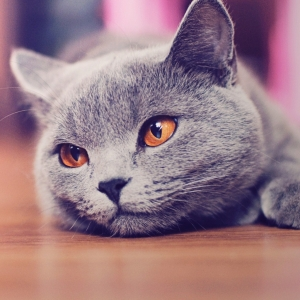 british-cat-wallpapers-18