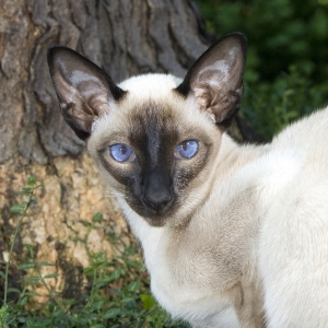 siamese-cat-wallpaper-02