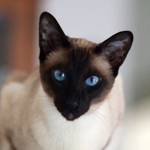 siamese-cat-wallpaper-03