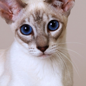 siamese-cat-wallpaper-04