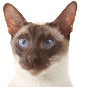 siamese-cat-wallpaper-05