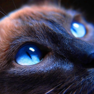 siamese-cat-wallpaper-06