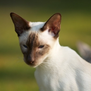 siamese-cat-wallpaper-07