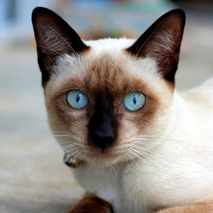 siamese-cat-wallpaper-08
