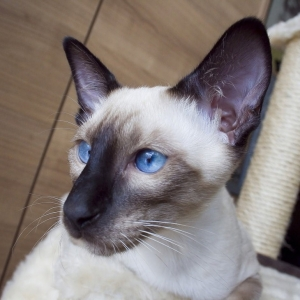 siamese-cat-wallpaper-09