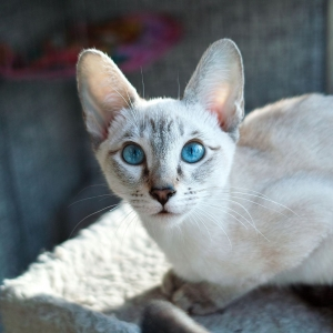 siamese-cat-wallpaper-10