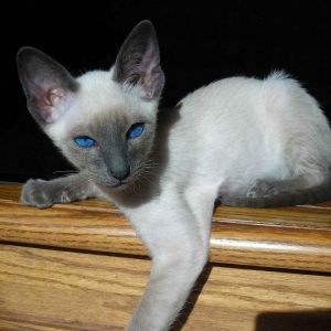 siamese-cat-wallpaper-14