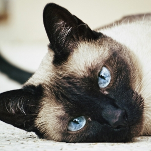 siamese-cat-wallpaper-15