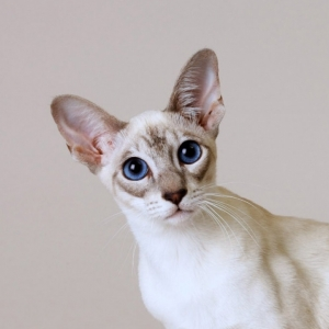 siamese-cat-wallpaper-16