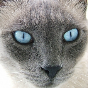 siamese-cat-wallpaper-17