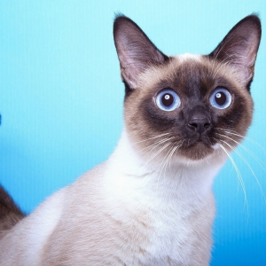 siamese-cat-wallpaper-18