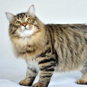 siberian-cat-wallpaper-01