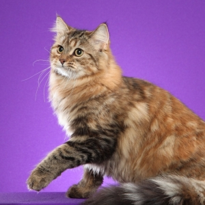 siberian-cat-wallpaper-03