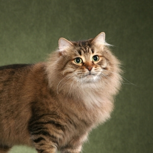 siberian-cat-wallpaper-04