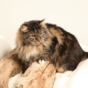 siberian-cat-wallpaper-09