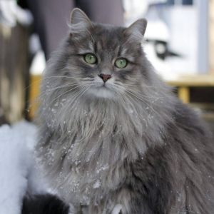 siberian-cat-wallpaper-10