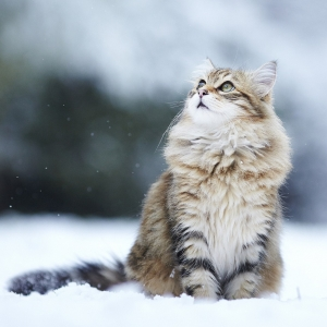siberian-cat-wallpaper-11