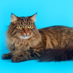 siberian-cat-wallpaper-12