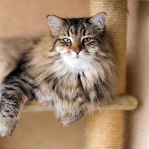 siberian-cat-wallpaper-13