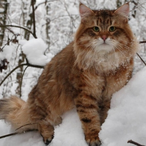 siberian-cat-wallpaper-16