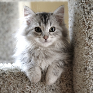 siberian-cat-wallpaper-17
