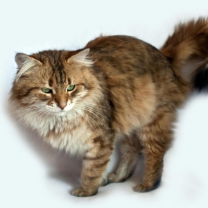 siberian-cat-wallpaper-19