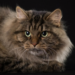 siberian-cat-wallpaper-20