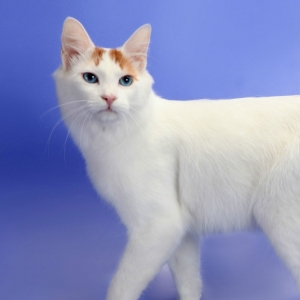 japanese-bobtail-wallpapers-01