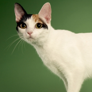 japanese-bobtail-wallpapers-02