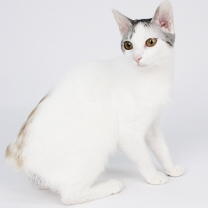 japanese-bobtail-wallpapers-04