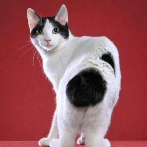 japanese-bobtail-wallpapers-05