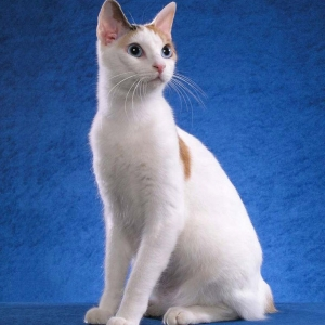 japanese-bobtail-wallpapers-07