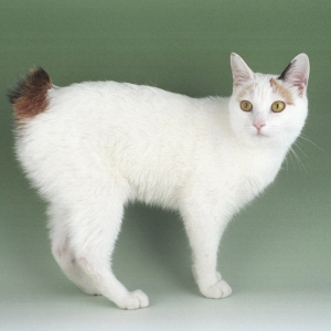 japanese-bobtail-wallpapers-08