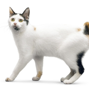 japanese-bobtail-wallpapers-11