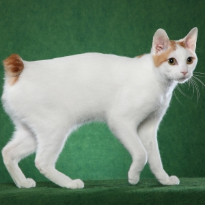 japanese-bobtail-wallpapers-12