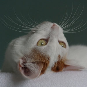 japanese-bobtail-wallpapers-13