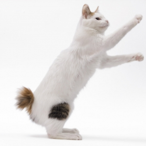 japanese-bobtail-wallpapers-15