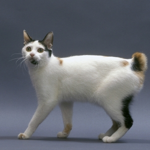japanese-bobtail-wallpapers-16